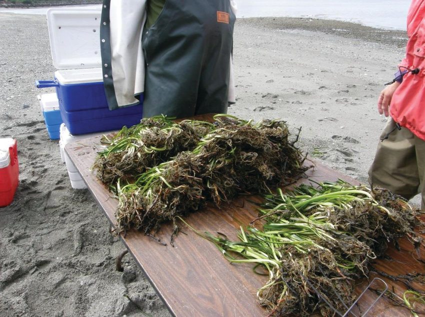 One way to mitigate the effects of construction on eelgrass beds is to harvest the eelgrass in the construction path and replant it afterward. Here, harvested eelgrass is awaiting transplant after construction of the 2009 Brightwater outfall in King County.
