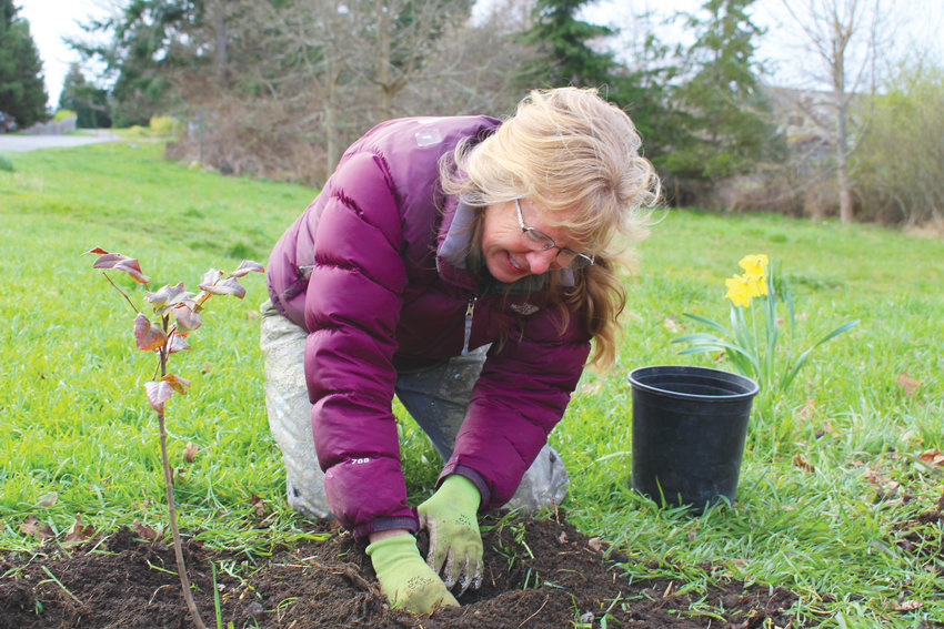 Kathy Darrow plants an oak seedling that began to sprout after falling from an established Garry oak tree at Froggy Bottoms restoration site.