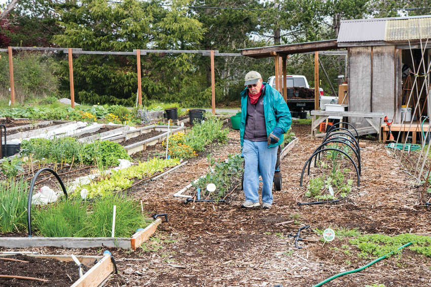 George Yount spreads mulch in the Quimper Grange garden. Many volunteers spend hours growing vegetables in this garden to donate to the Port Townsend Food Bank. This is one of eight gardens in Jefferson County that grows produce for food banks.
