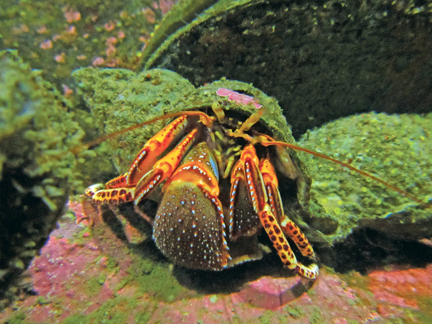 Widehand hermit:  Elassochirus tenuimanus. A fan of strong currents and big rocks, this hermit crab is frequently seen in the rocky subtidal zone. Its wide, flat right hand is used like a door to close behind it when it retreats into its borrowed shell.