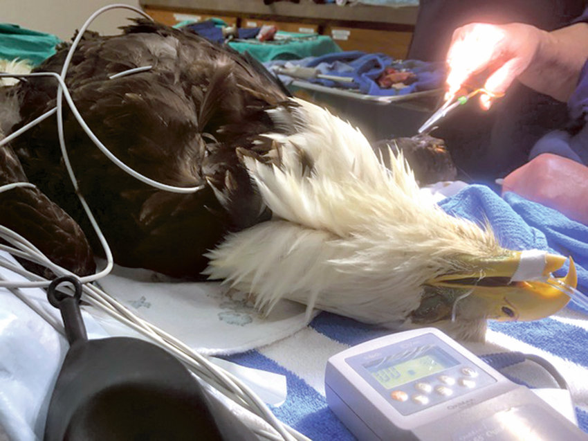 Port Hadlock veterinarians perform surgery on a rescued bald eagle.