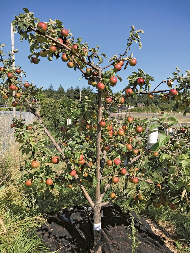 Many of the trees at the Blue Heron Orchard like this Melrose apple are pruned with an open framework, low enough for students to reach the fruit when it is ready to harvest.