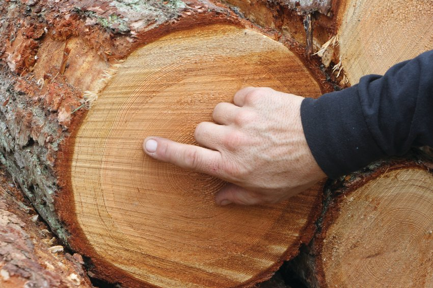 Justin Melton points to the tight growth rings on a log cut in the Chimacum Park harvest area, illustrating stunted growth.