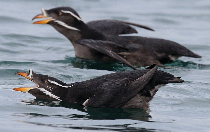 Protection Island offers needed sanctuary for Rhinoceros Auklets and many other types of seabirds and sea mammals.