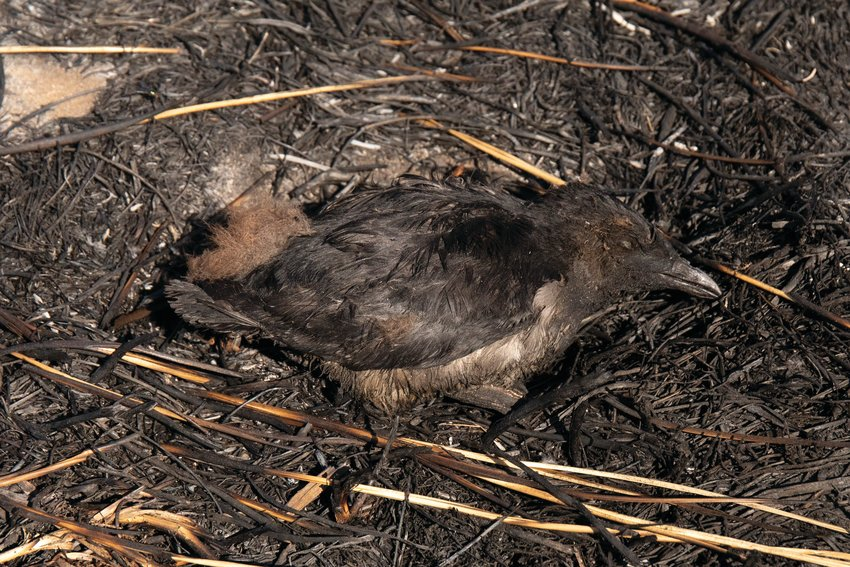 This rhinoceros auklet chick was one of many casualties caused by an Aug. 3 fire on Protection Island. Dry, combustible grasses contributed to the spread of the blaze, the cause of which is currently undergoing investigation.