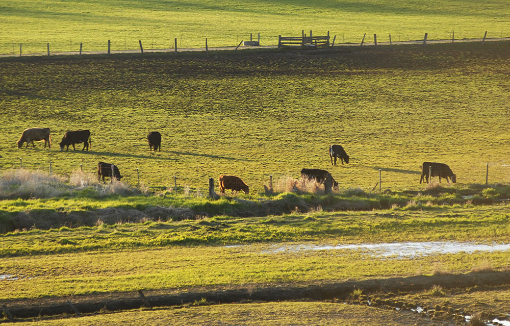 Cows graze in a fenced-off field along Center Road on March 30. Since fencing was installed in the 1980s, there is less fecal matter going into Chimacum Creek, although human fecal matter has been detected. Photo by Chris Tucker