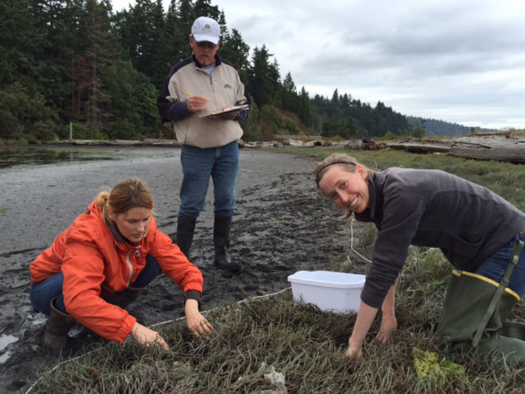 Volunteers monitor a site at Kala Lagoon, between Kala Point and Chimacum Creek along Port Townsend Bay, for European green crabs, an invasive predator known to threaten shellfish. Courtesy photo