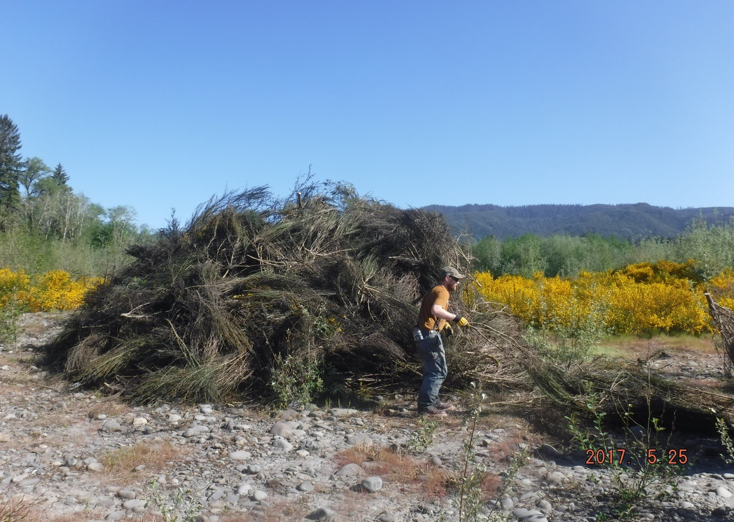 10,000 Years Institute restoration crew lead Eli DeMatteis piles cut and treated Scotch broom at Elk Creek on the Hoh River.