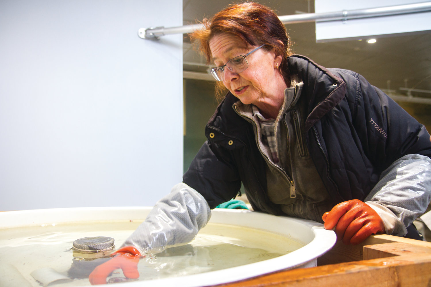Dana Africa searches for stray abalone in the tank, so transfer to the Puget Sound Restoration Fund for release.
