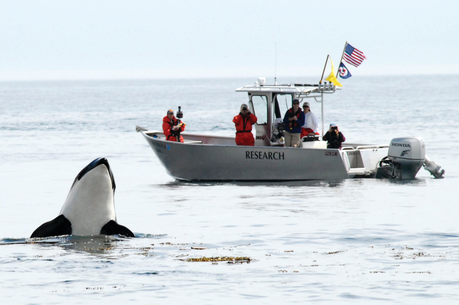 "Southern Resident killer whales are listed as endangered under the U.S. Endangered Species Act. In July 2006, the crew aboard the National Marine Fisheries Service vessel Noctiluca observed a ""spy hopping"" Southern Resident killer whale off San Juan Island."