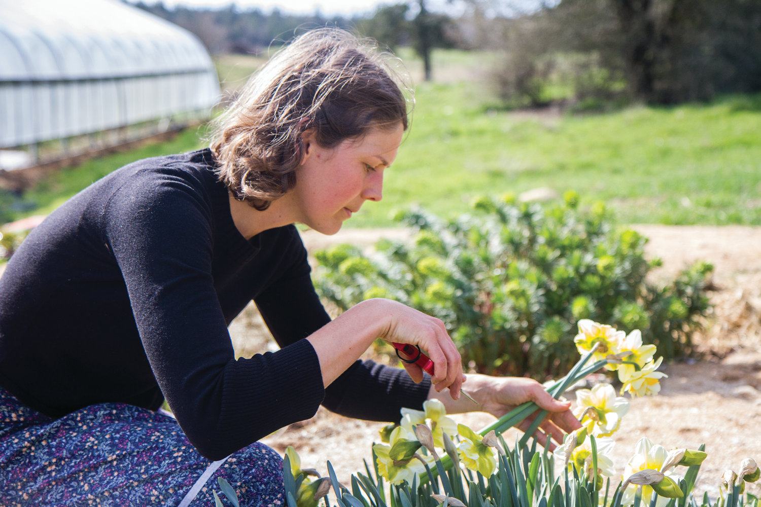 Allred harvests daffodils to make a bouquet. She grows her flowers in beds and does not use herbicides or pesticides.