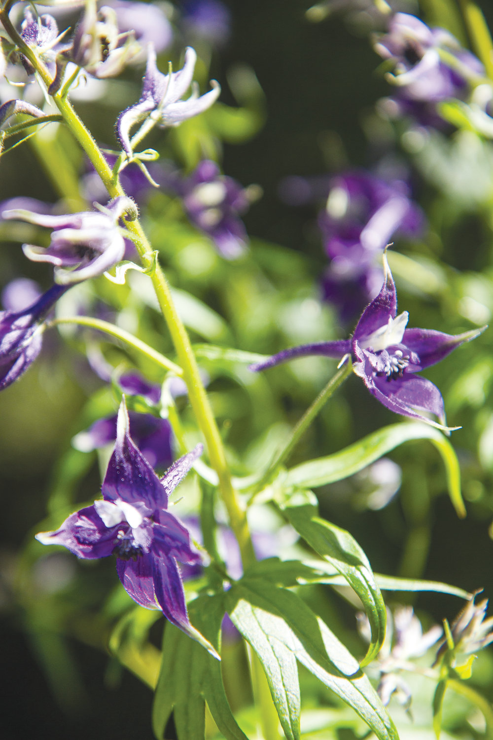 Columbian larkspur is a leafy herbaceous perennial that blooms in late spring to early summer.