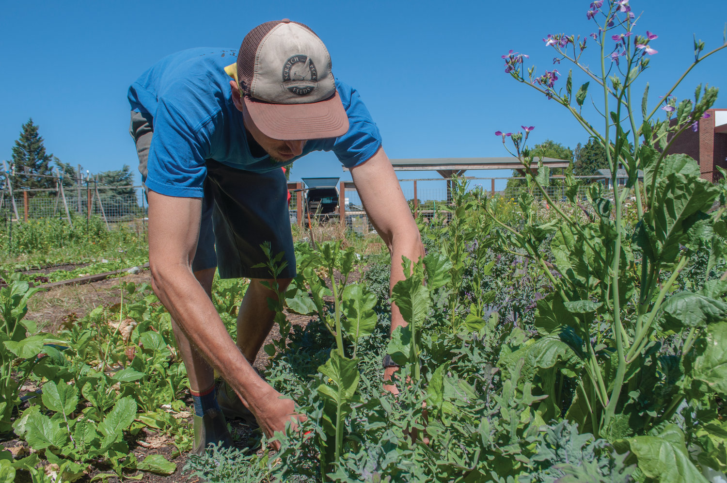Zach Gayne works in the Port Townsend High School garden, which he oversees as garden coordinator.