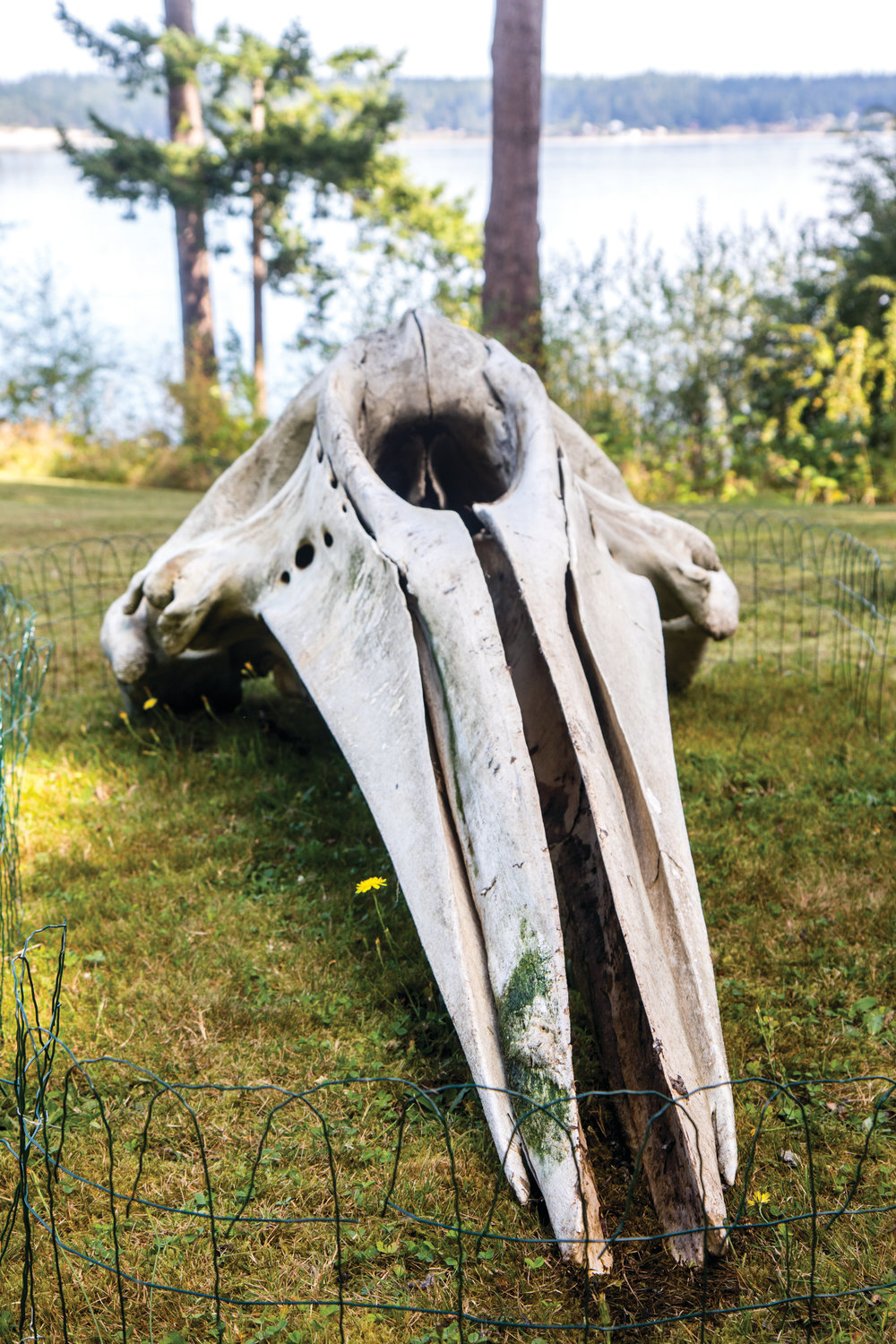 The skull of a gray whale rests in the grassy backyard of Dr. Stefanie Worwag and Mario Rivera, who live in Port Hadlock. They watched as the whale decomposed on their beach over the summer. Now, they are trying to figure out how to clean the massive bones in preparation for reassembling the skeleton.