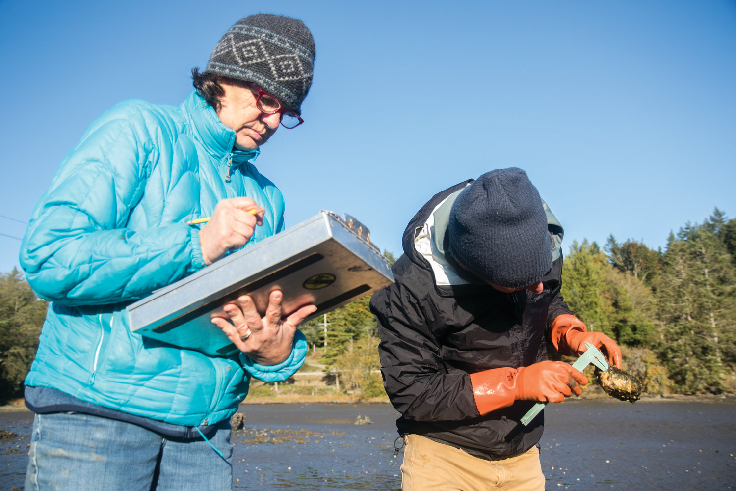 Marine Resource Committee member Sarah Fisken takes down the data as Neil Harrington measures Olympia oyster spat growing on Pacific oyster shells that MRC volunteers spread throughout Discovery Bay in the hopes of providing more surfaces for the oysters to grow on.