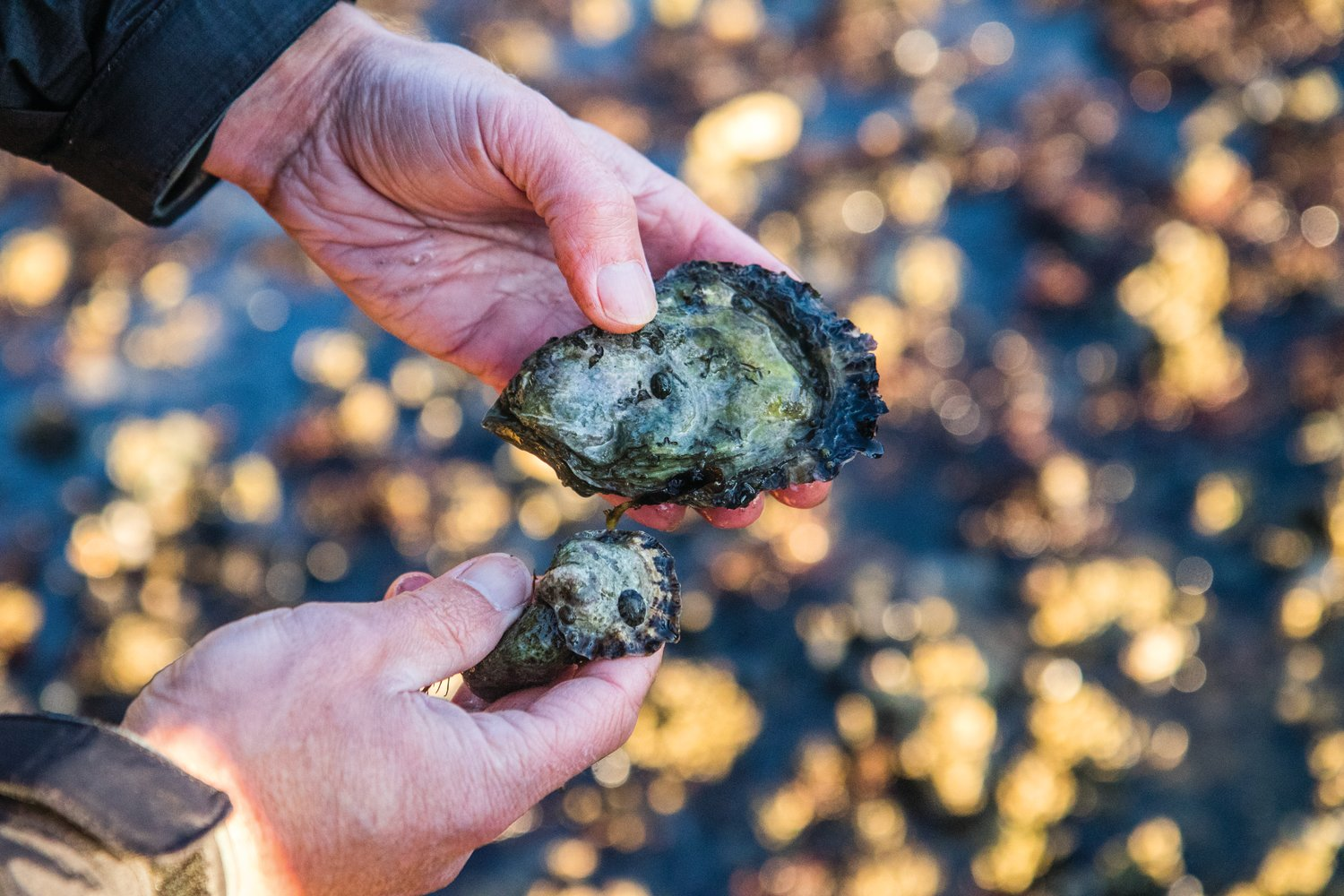 Side by side, the differences between a Pacific oyster and the smaller, rounder Olympia oyster are obvious. While Pacific oysters are non-native, they aren't a harmful invasive species and still help the ecosystem with their water filtration. However, the native Olympia oysters create a specific habitat that researchers are hoping to restore.