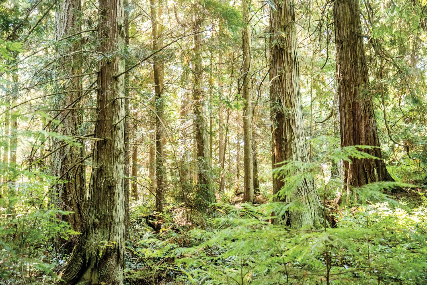 "A stand of trees—all over 100 years old—has been determined to be ""old growth"" under the state Department of Natural Resources' definition of old growth. Now the parcel, which is owned by DNR, is not going to be harvested."