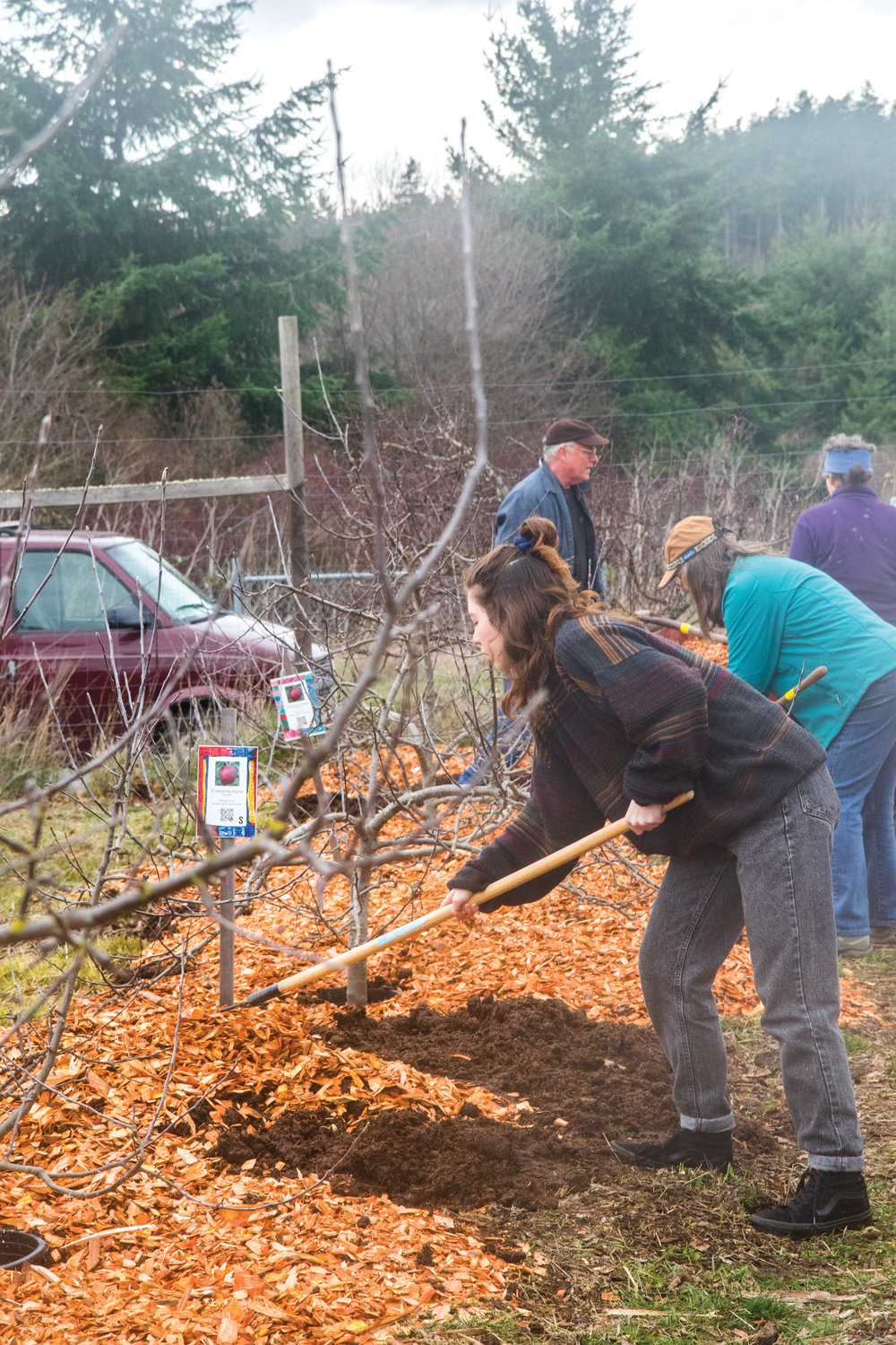 Port Townsend High School senior Caitlyn Bedolla rakes wood chips on the tree beds.