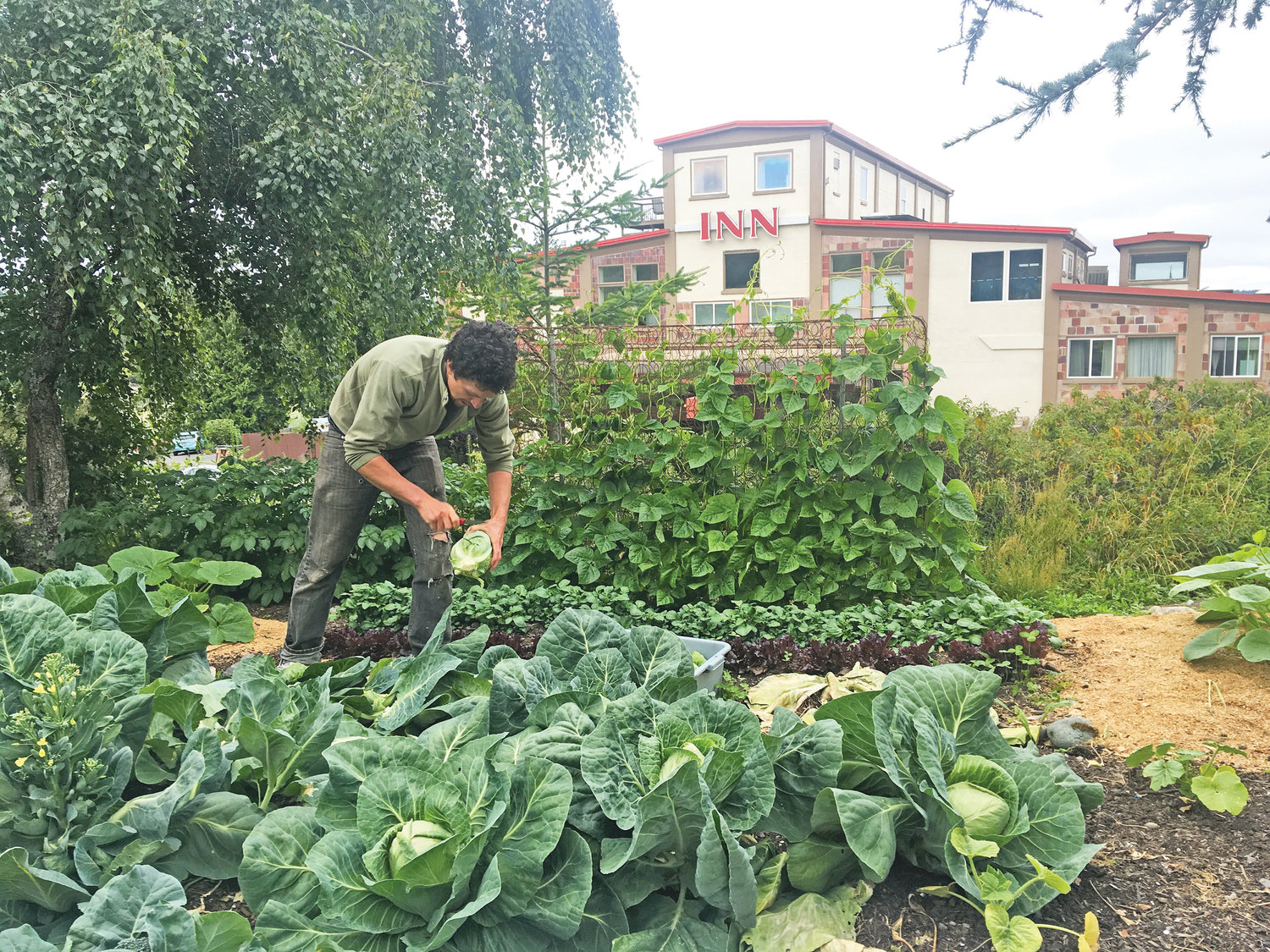 Patrick Ryland picks cabbage from the community garden at the Old Alcohol Plant. The garden goes to serve the restaurant at the hotel, but also the residents of Bayside Housing, a transitional housing service for individuals experiencing homelessness.