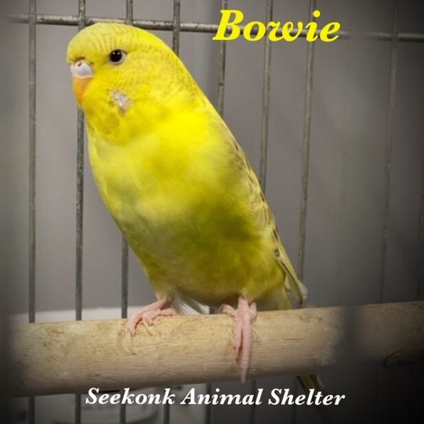 Bowie is waiting to meet you at the Seekonk Animal Shelter.