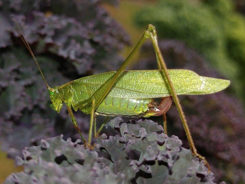 Fork-tailed bush katydid