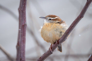 Carolina Wren fluffed up to keep warm.