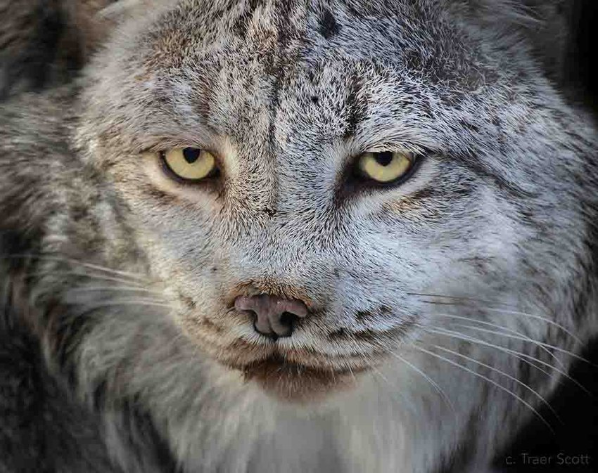BPZOO is morning the loss of 20 year old Canada lynx, Calgary.