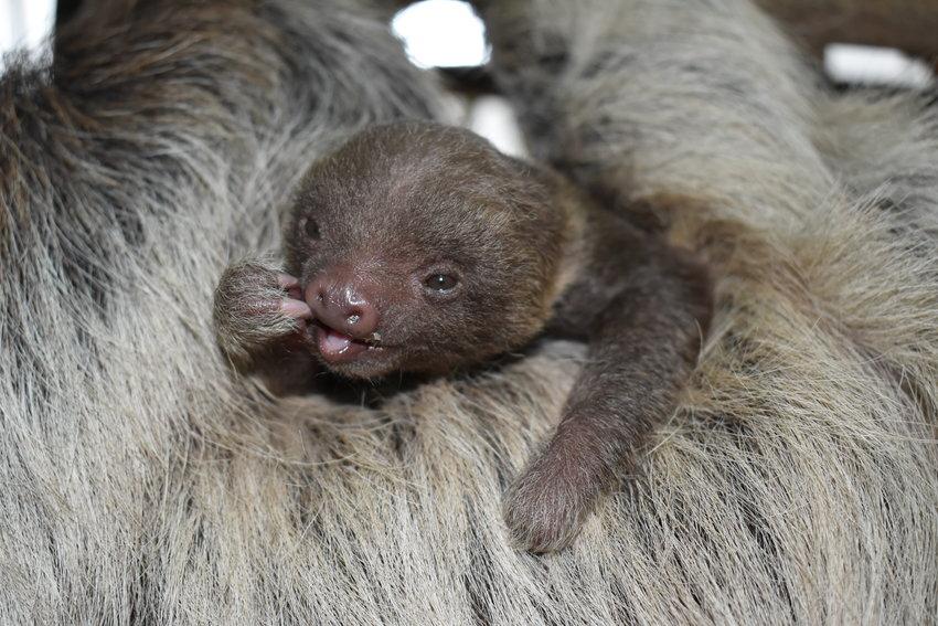 BPZOO's infant sloth resting on mom, Sandy