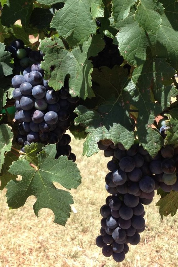 Wine grapes such as these Petite Sirah near Brownfield in Terry County will be the focus of the Prospective Grape Grower Workshop Dec. 12 at Lubbock.