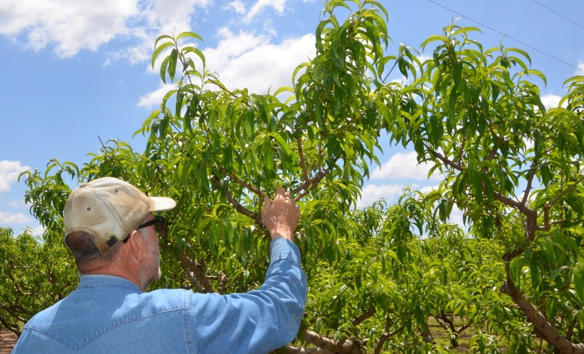 Two free fruit tree seminars will be held at San Antonio nurseries in January.