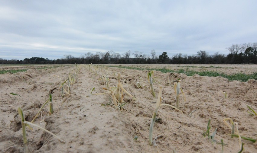 "A row of onions ""torched"" by sub-freezing temperatures at Tanksley Farms in Mineola. Grower Lowell Tanksley said temperatures were below zero and that he will replant his onions in the next few weeks."