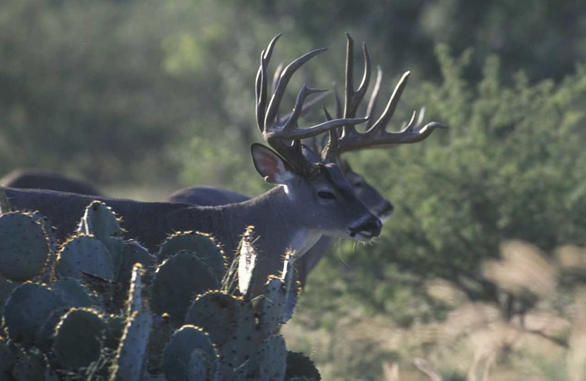 The allure of big South Texas bucks led to a difference in the lengths of deer seasons in South Texas and the rest of the state. Last week, the Parks and Wildlife Commission had a chance to equalize them.