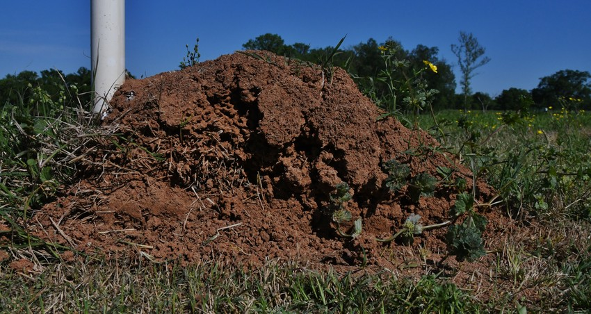 A 'dead' fire ant mound along a fence line in rural East Texas.
