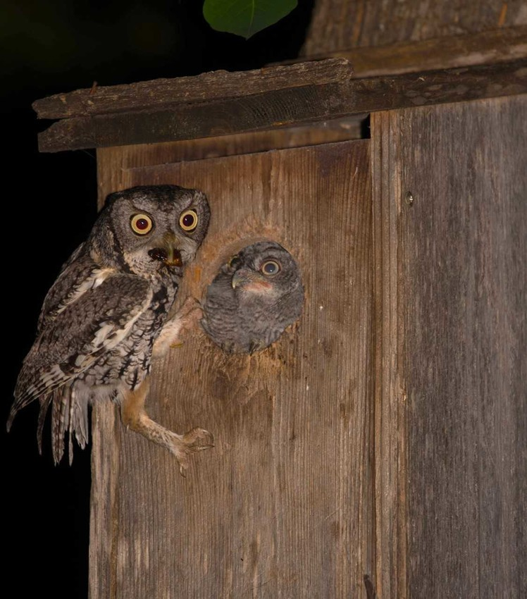 A roach – it's what's for dinner! Papa screech owl about to feed his young'un din-din.
