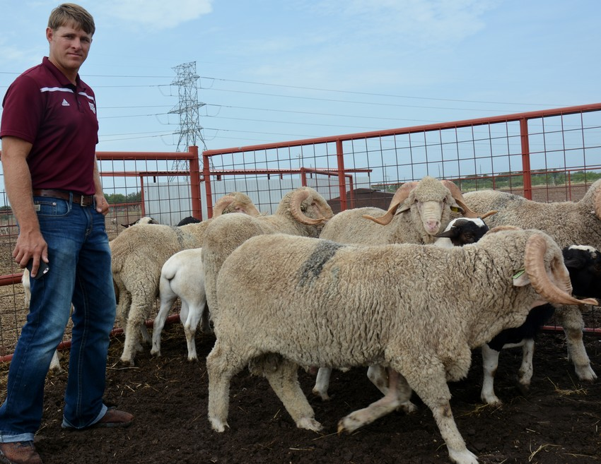 Dr. Reid Redden, Texas A&M AgriLife Extension Service state sheep and goat specialist at San Angelo, looks at rams at the Texas A&M AgriLife Research and Extension Center in San Angelo.