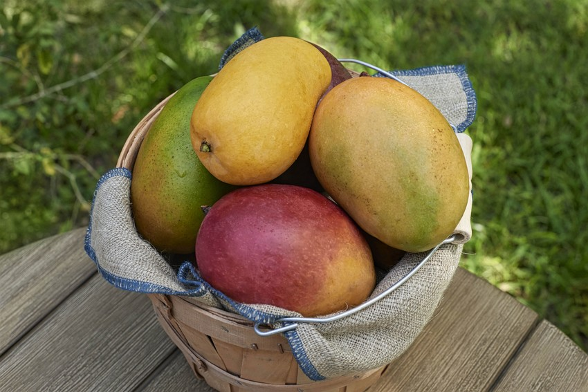 A recent study by Texas A&M AgriLife researches showed consuming mangoes provides anti-inflammatory effects  related to chronic constipation.