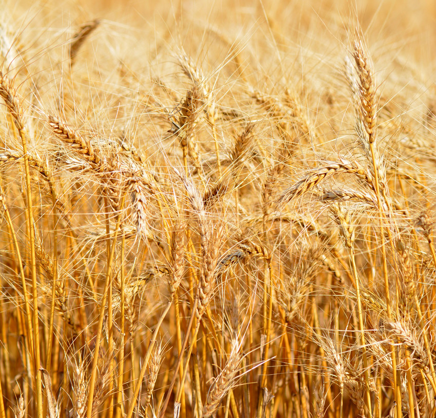 Texas wheat acres may increase as price trends and weather outlooks improve.