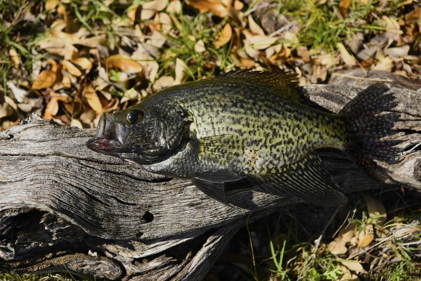 Although largemouth bass are the most sought-after gamefish in Texas' inland waters in the fall, many anglers fish for crappie like this black crappie. The crappie limit is 25 a day, at least 10 inches long. For bass, it's five fish a day, 14 inches long, but varies by lake.