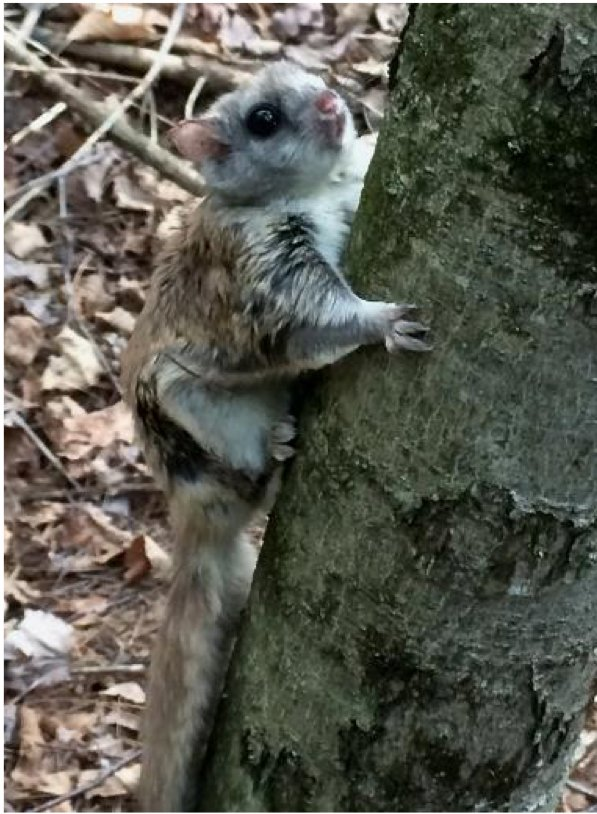 The Northern flying squirrel thinks pink.