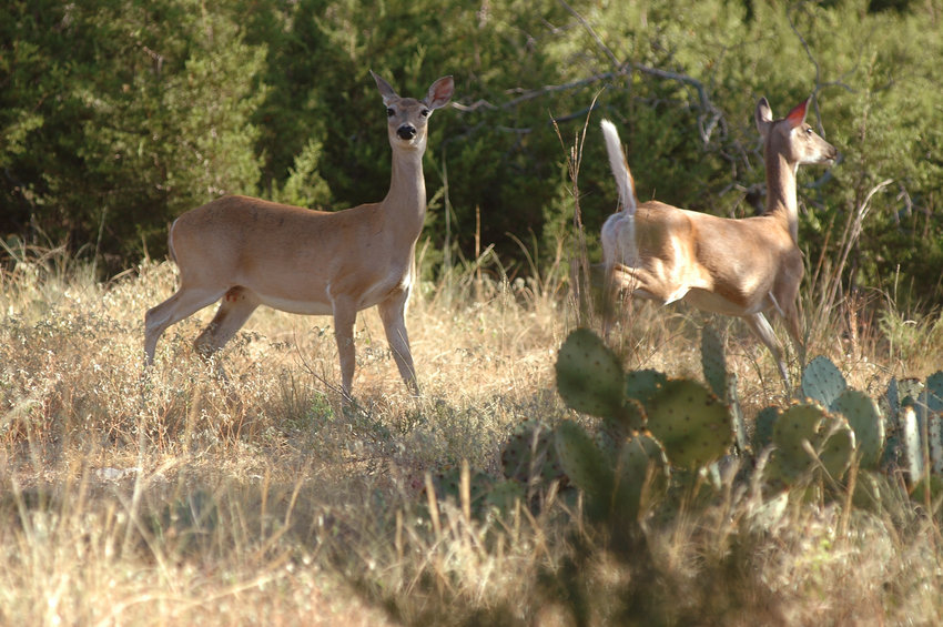 "At one time, doe deer were almost considered ""sacred cows"" when it came to hunting. Times have wisely changed. Hunters in 41 counties in the Blackland Prairies and the Post Oak Savannah ecoregions will have more opportunities to harvest does when new regulations become effective for fall hunting."