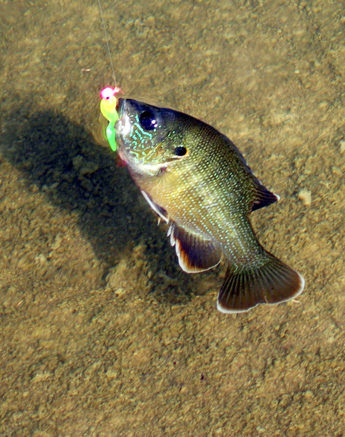 A colorful green sunfish on the end of a line in shallow water on the Frio River is one of eight varieties of sunfish found in Texas rivers' lakes and streams. This one struck a small, equally colorful jig.