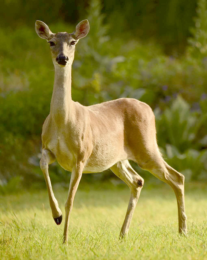 An appellate court has affirmed a trial court's decision that deer are wild animals belonging to the state and that a breeder permit issued by Texas Parks and Wildlife Department does not convey private ownership of the animal.