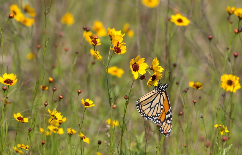 Pollinators, like the Monarch butterfly, depend on native plants for food and refuge.