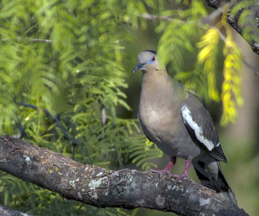 In addition to 34 million mourning doves, Texas hosts 10 million white-winged doves, like the one pictured. Both species may be hunted during the regular seasons, but Inca and ground doves are protected by law. See the Texas Parks and Wildlife Outdoor Annual for other dove regulations.