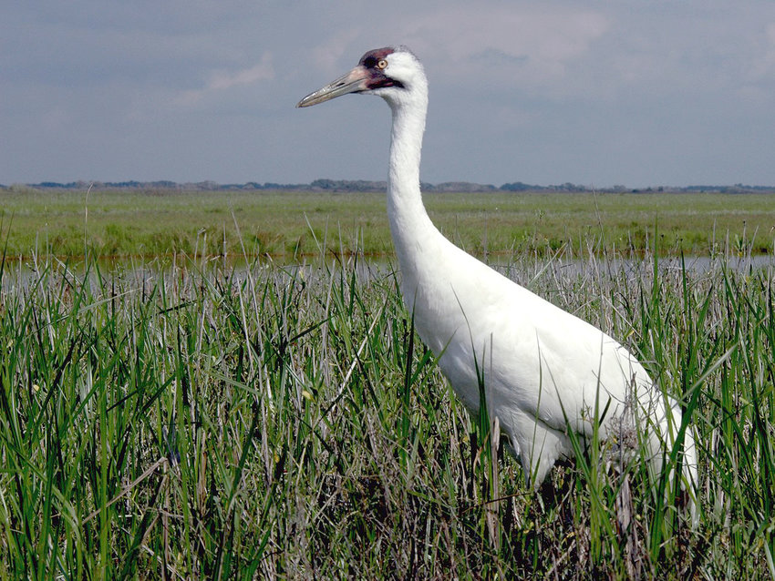 The rare and endangered whooping cranes have migrated from Canada to the Texas Coastal Bend for the winter. Once numbering in the teens, the Canada/Texas Coast flock is the only natural population in America and has grown to 504 cranes through meticulous conservation. They're a sight to see.