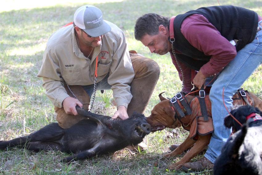 Bryan Vacha, right, pulls a dog off a wild hog that Matt Noviskie has under control during a hunt last spring in Colorado County.
