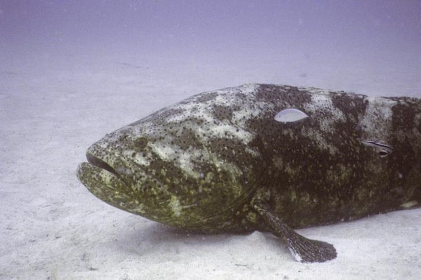 The Florida Fish and Wildlife Conservation Commission on Wednesday backed limited fishing of goliath grouper