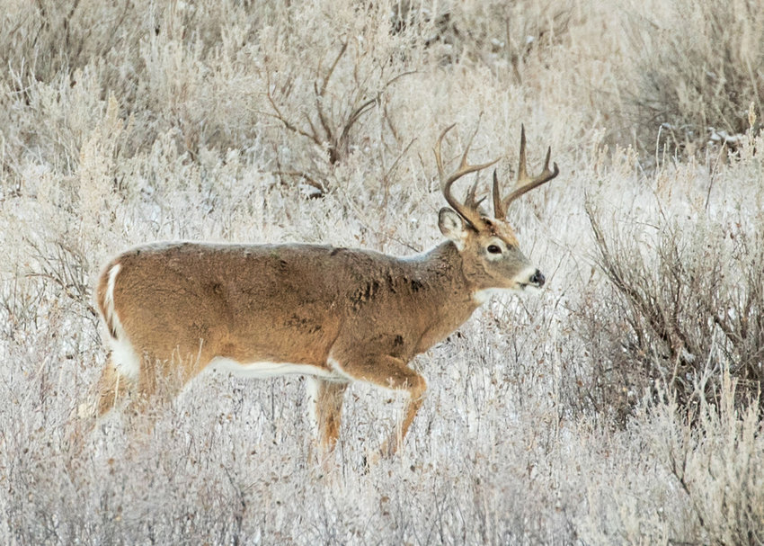 White-tailed deer spotted in Theodore Roosevelt National Park's South Unit on Nov. 7, 2017.