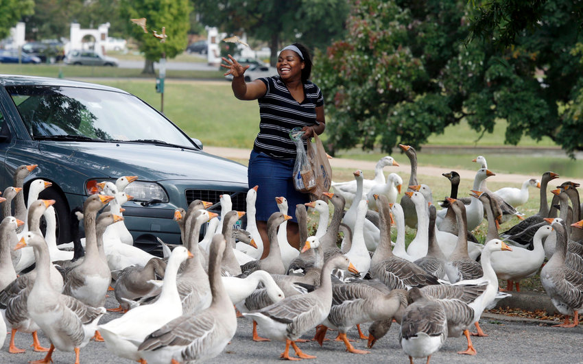 A visitor fed some geese at Byrd Park in 2017. The city of Richmond removed about 150 domestic geese on Friday through Carolina Waterfowl Rescue.