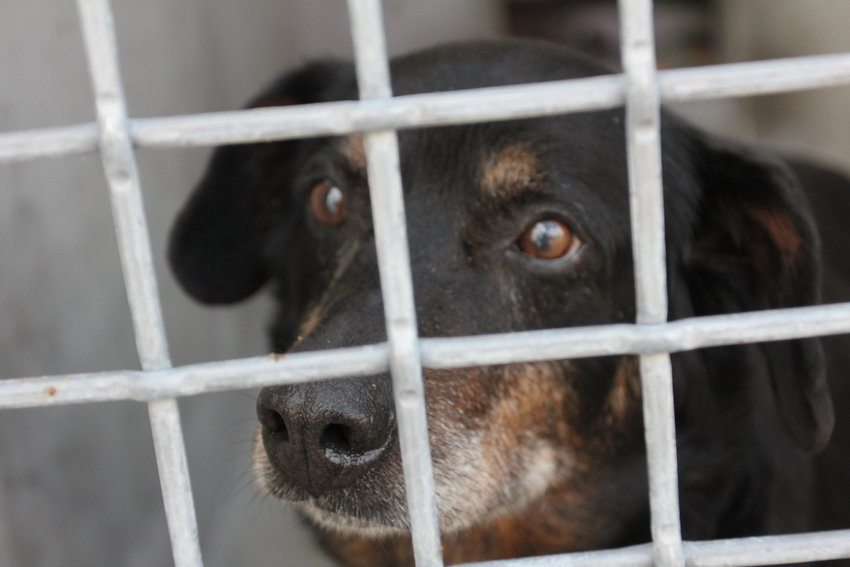 A dog looks out from an outside kennel at the Old Drum Animal Shelter.